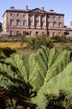 Giant rhubarb