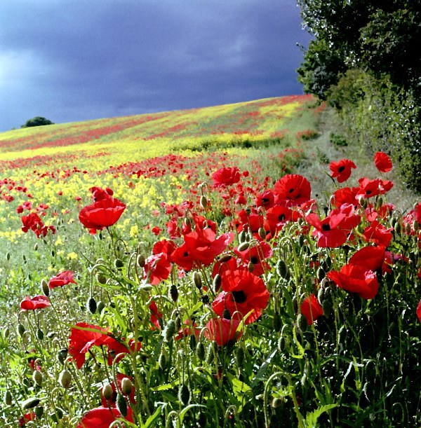 Ovington poppies