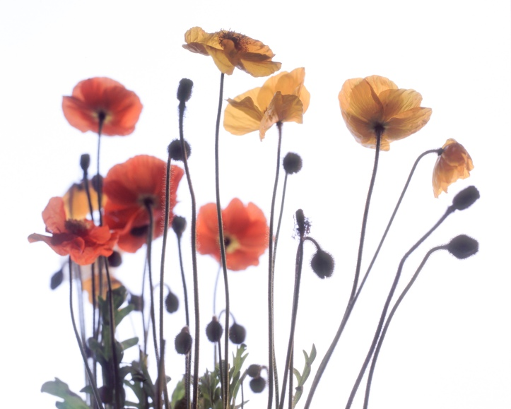 2015-6,  RZ67, flowers, Fuji Provia 100F, 001